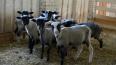 Свиноводам-фермерам Ленобласти предлагают перейти ...