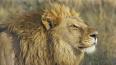 С ранчо в Мексике сбежал лев и загрыз человека