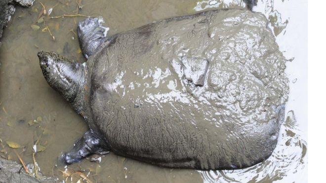 В Китае умерла последняя самка черепахи Янцзы