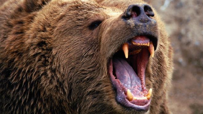 Под Петербургом медведь разорвал и съел душевнобольного мужчину