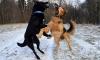 Прокуратура Петербурга пытается закрыть сайты с жестокими боями собак