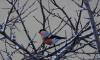 Петербуржцы заметили снегирей в Приморском районе