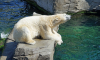 Белая медведица из Красноярска верит в победу России в матче против Хорватии