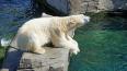 Белая медведица из Красноярска верит в победу России ...