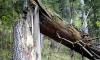 Двухлетнего москвича убило рухнувшим деревом на глазах бабушки