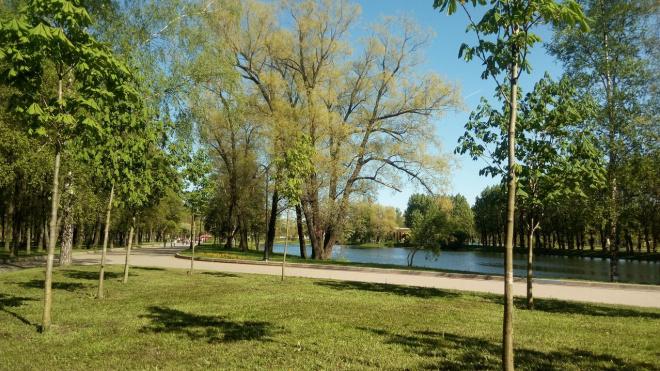 В Парке Победы зараженные грибком вязы заменят липами