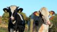 Петербургские депутаты поддержали местных животноводов ...