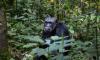 Маленькие дети и шимпанзе говорят на одном языке