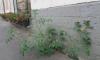 В центре Петербурга из-под здания вырос куст с помидорами