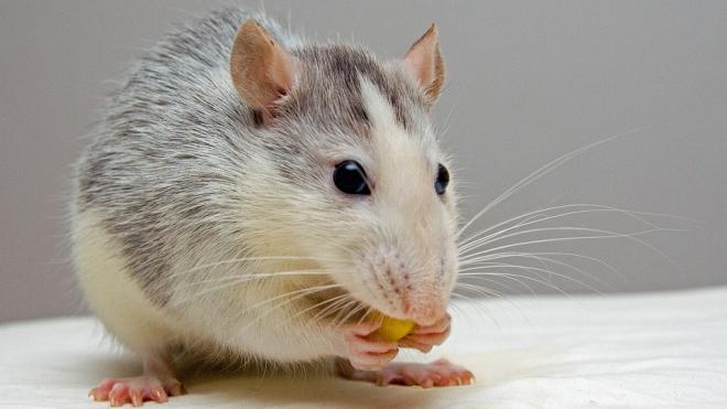 В Санкт-Петербурге двое детей отравились крысиным ядом
