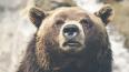 В Иркутской области медведь забрался в дом к пенсионеру ...
