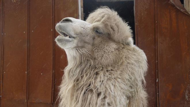 Петербургские зоозащитники хотят спасти верблюда из Тюмени