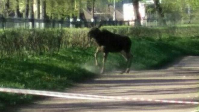 По парку в Гатчине все выходные бегал лосенок