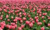 В Петербурге у памятника Пушкину высадят 2,5 тысячи розовых тюльпанов