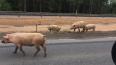 """В Ленобласти на трассе """"Скандинавия"""" бегает стадо свиней"""