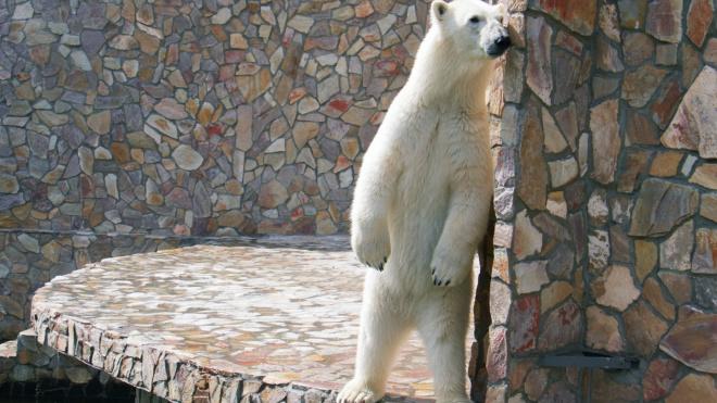 День белого медведя пройдёт в Ленинградском зоопарке