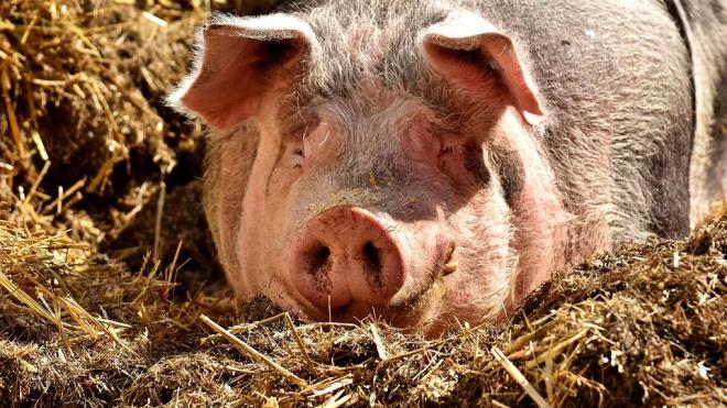 Петербургские производители свинины могут уйти с рынка