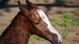В Павловске ввели карантин из-за инфекции лошадей, ...