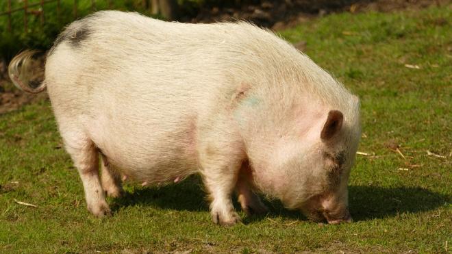 В Ленобласти задержали горе-охотника, застрелившего свинью