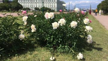 В Петербурге повсюду цветут пионы