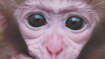 Землетрясение на Урале предсказала вещая обезьяна