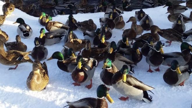 Утки и селезни заполонили Смоляной ручей в Тосно
