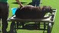 Убитый баран может лишить казахстанский Шахтер Лиги ...