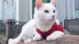 Эрмитажный кот Ахилл предвидит победу сборной Бразилии ...