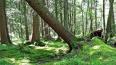 В Гатчине скончался мужчина, на которого упало дерево ...
