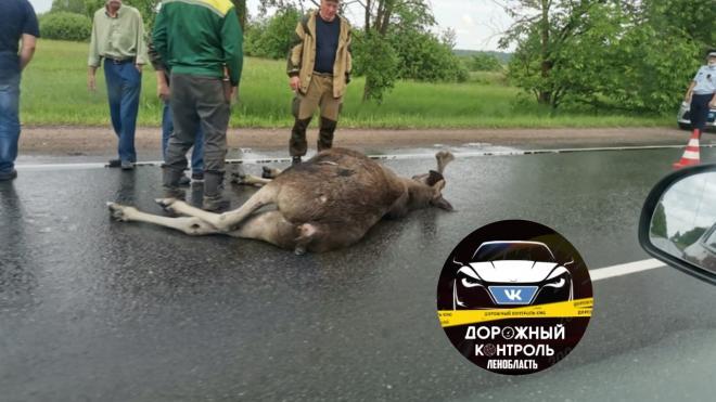 Водитель сбил лося на подъезде к Ивангороду