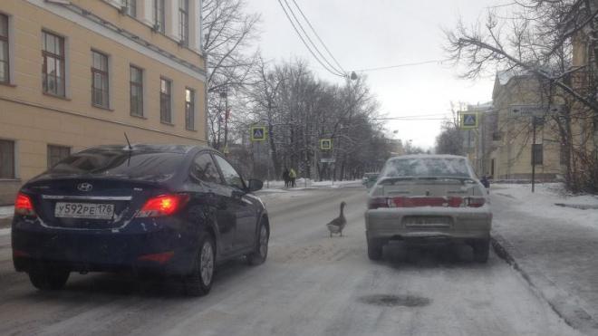 Гуси-экстремалы собрали пробку на Леонтьевской улице в Пушкине
