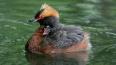 Три вида птиц Петербурга вошли в обновленную Красную ...