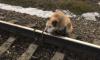 В Ленобласти ради спасения привязанного к рельсам пса машинист остановил поезд