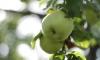 В Яблочный Спас петербуржцам бесплатно раздали две тонны яблок