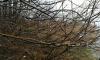 Жители Ленобласти заметили набухшие почки на деревьях