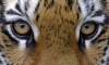 В Приморье тигрица тяжело ранила стрелявшего в нее охотника
