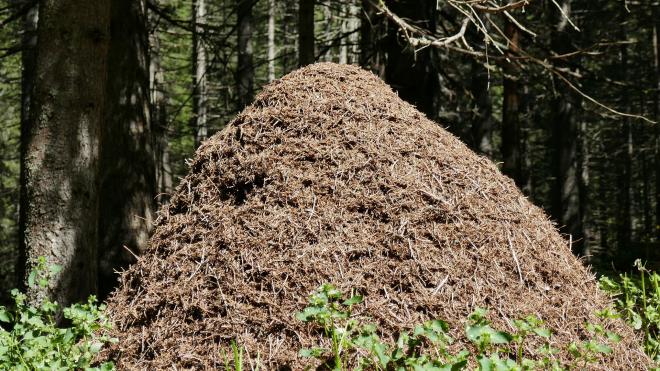 Биологи нашли самый большой муравейник Подмосковья
