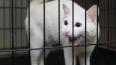 Глухой кот Ахилл вернется к должности оракула на Чемпион...