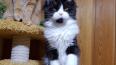 Украденный с выставки в Экспофоруме котенок мейн-куна ...
