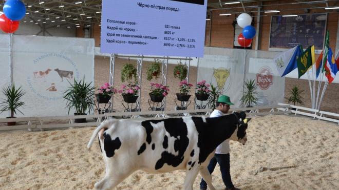 Выборгские нетели повысят продуктивность стад Ставропольского края