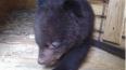 Фото: в Приморье выхаживают маленького гималайского ...