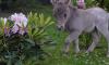 В Петербург привезут самую маленькую лошадь в мире