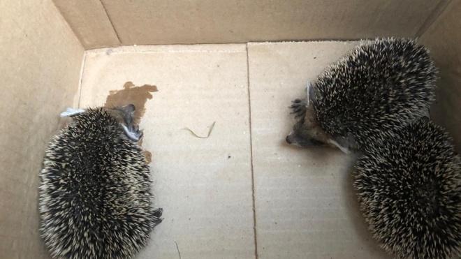 На территории петербургского детского сада нашли ушастых ежат в коробке