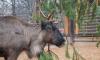 ВЛенинградском зоопарке появились новые животные: альпаки, грифы и не только