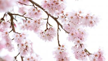 В Ботаническом саду объявили о начале цветения сакуры