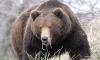 Камчатские медведи-людоеды растерзали рыбака, ловившего корюшку