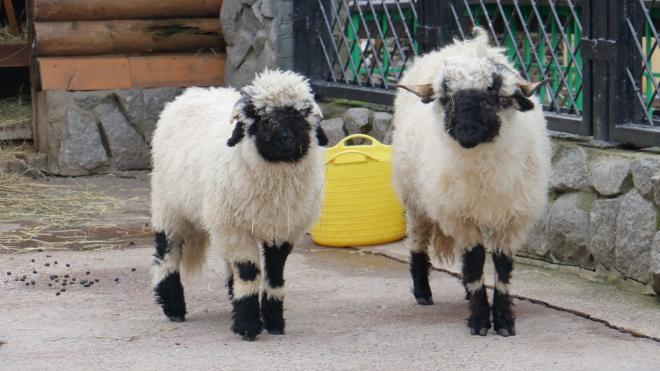 В Ленинградском зоопарке показали валлийских овец после стрижки