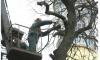 Петербургские депутаты одобрили санитарную рубку деревьев