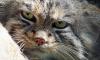 В Новосибирском зоопарке домашняя кошка спасла от смерти детенышей манула