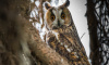 Петербургская семья объявила вознаграждение заушастую сову-беглянку